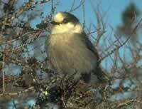 Grey Jay  (Parks Canada).jpg