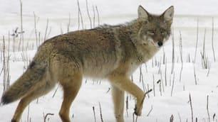 coyote-.jpg