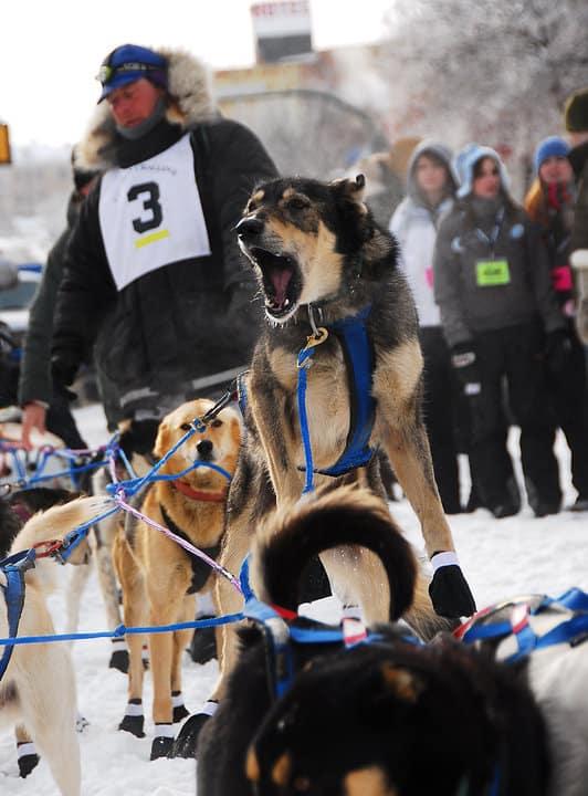 sled dog.jpg