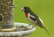 rose-breastedgrosbeak.jpg
