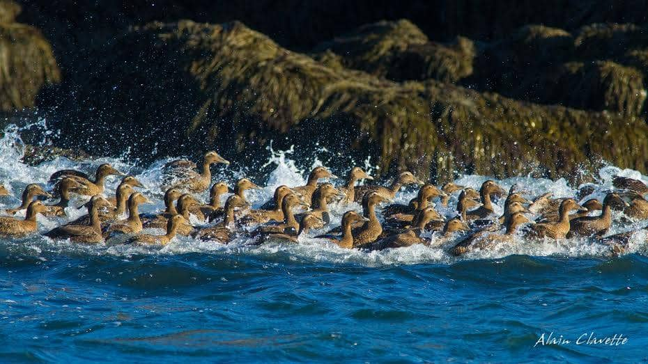 Alain Clavette talks about a Golden Winged Warbler sighting on Grand Manan,  and he explains why you may find moulting Common Eiders swimming in a group  ...