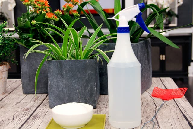 Use epsom salt for black spot, mildew and wilt in your garden
