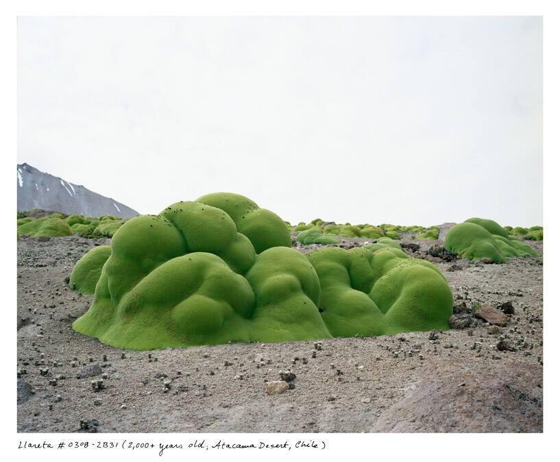 La Llareta #0308-2B31 (2,000+ years old; Atacama Desert, Chile)