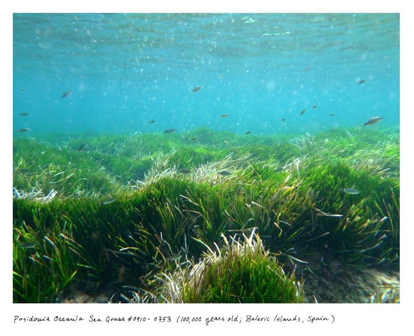 Posidonia Oceania Sea Grass #0910-0753 (100,000 years old, Balearic Islands, Spain)