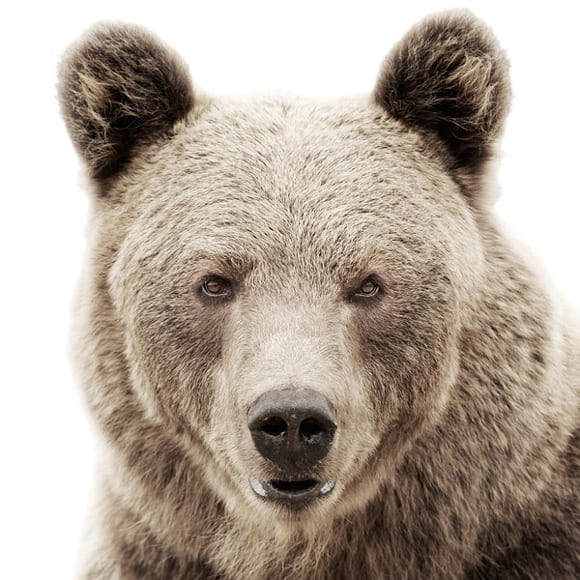 animal-portraits-bear.jpg
