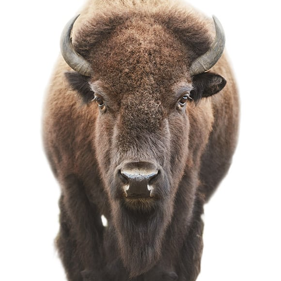 animal-portraits-buffalo.jpg