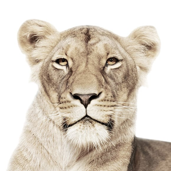 animal-portraits-lionness.jpg