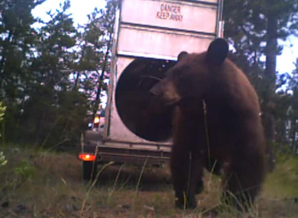 Watch A Bear And Her Two Cubs Get Released Into The Wild By A Yukon Conservation Officer