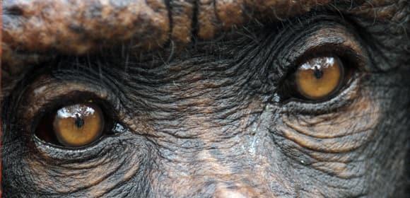 chimps-death-eyes.jpg