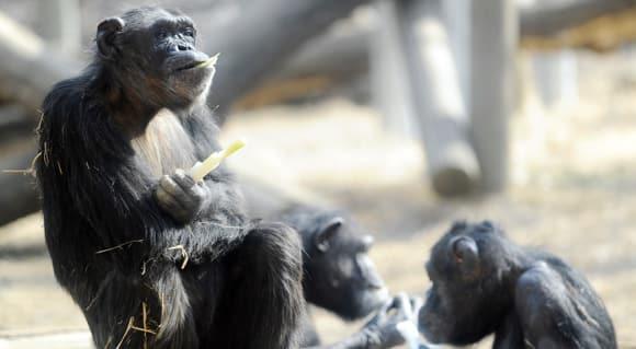 chimps-death-feature.jpg