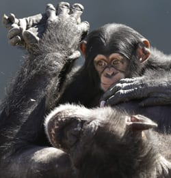 chimps-free-small.jpg