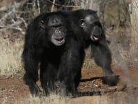 chimps-goodall.jpg
