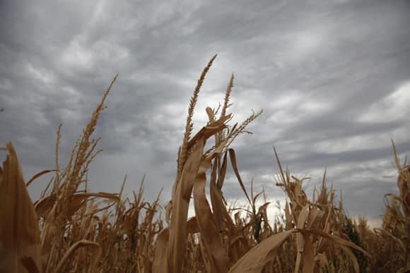 damaged-corn-kansas.jpg