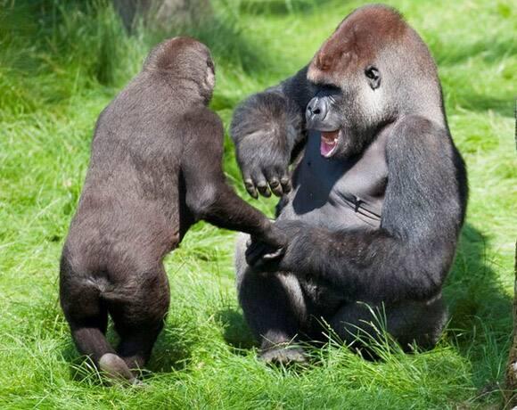 gorilla-brothers-reunited.jpg