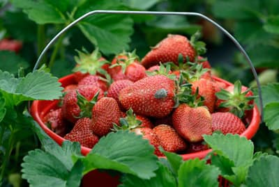 heirloom-fruits-strawberries.jpg