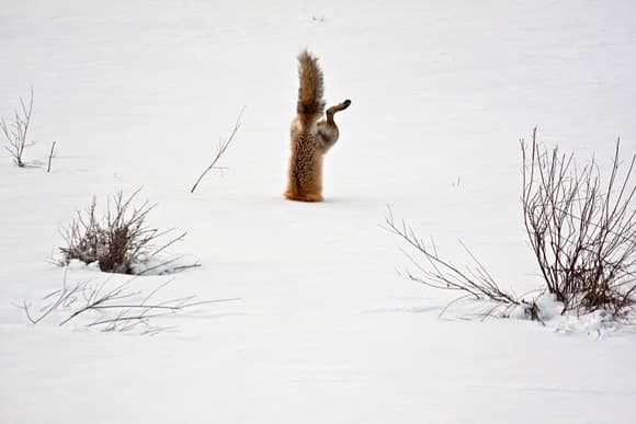 honorable-mention-red-fox-catching-mouse-under-snow.jpg