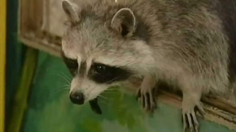 Jemma the Psychic Raccoon