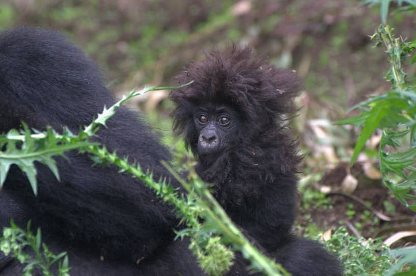 It's That Time Again: Kwita Izina (Rwanda's Annual Baby Gorilla Naming Day)