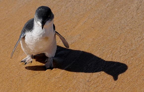little-penguin-bird.jpg
