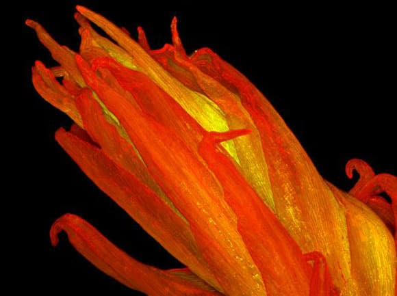 microscopic-winners-celosia.jpg