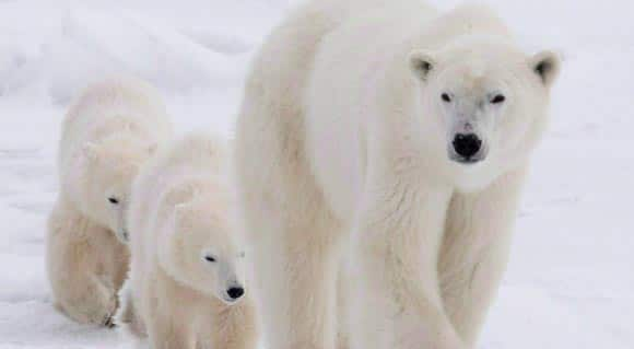 scientists-say-polar-bears-headed-for-disaster-unless-Canada-and-other-Arctic-countries-come-up-with-plans-to-save-them-feature1.jpg