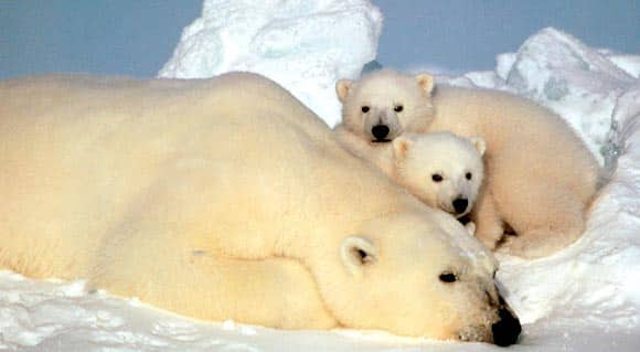 scientists-say-polar-bears-headed-for-disaster-unless-Canada-and-other-Arctic-countries-come-up-with-plans-to-save-them-feature3.jpg
