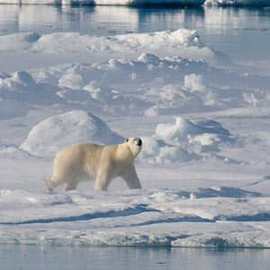 scientists-say-polar-bears-headed-for-disaster-unless-Canada-and-other-Arctic-countries-come-up-with-plans-to-save-them-feature4.jpg