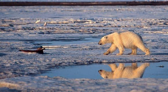 scientists-say-polar-bears-headed-for-disaster-unless-Canada-and-other-Arctic-countries-come-up-with-plans-to-save-them-feature5.jpg