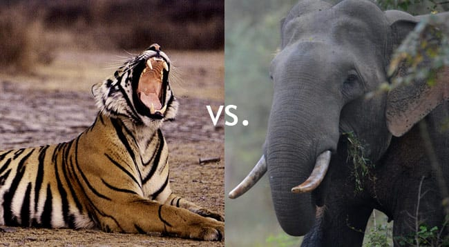tiger-vs-elephant.jpg