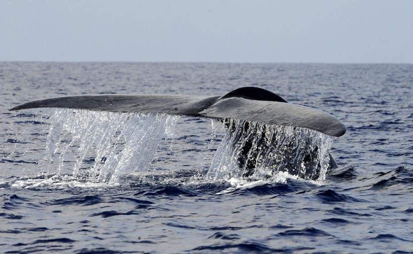 A Blue Whale Dives in Sri Lanka