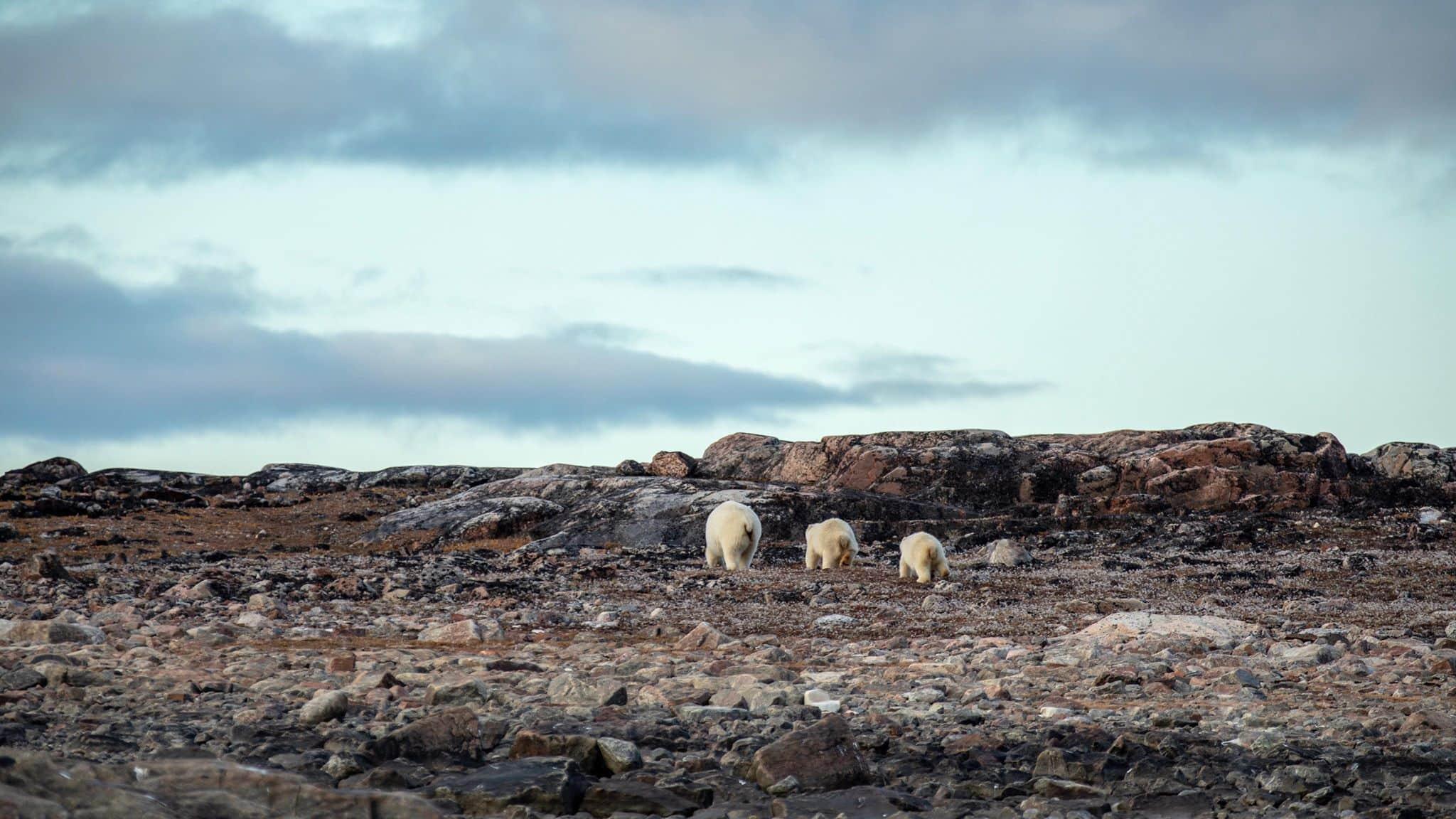 Polar bears on a rocky landscape