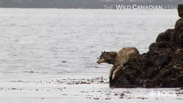 WCY_Making_Of_Wolves_Sea_Otter_hunt_2500kbps_620x350_1063656515839
