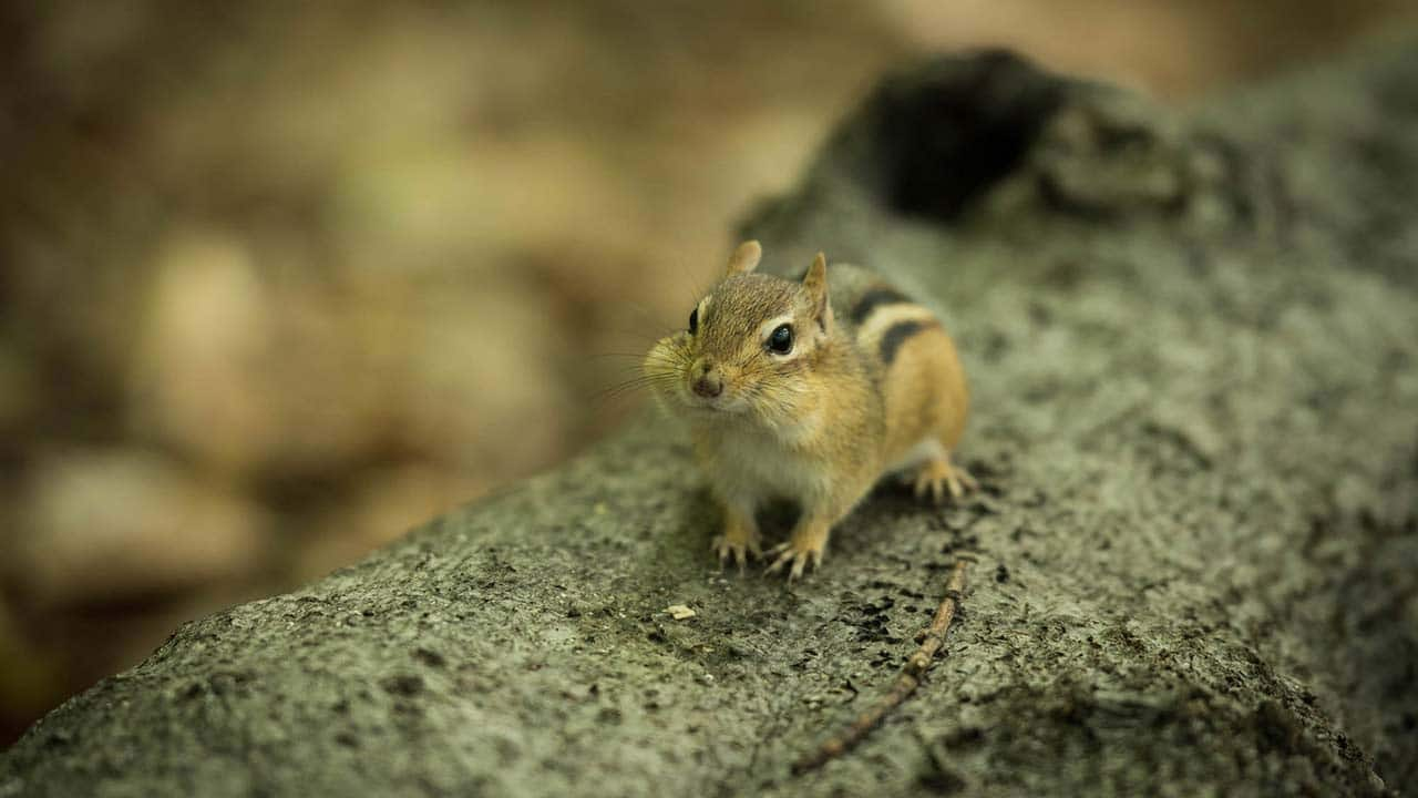 tiny chipmunk welcomes the wild canadian year s camera inside his
