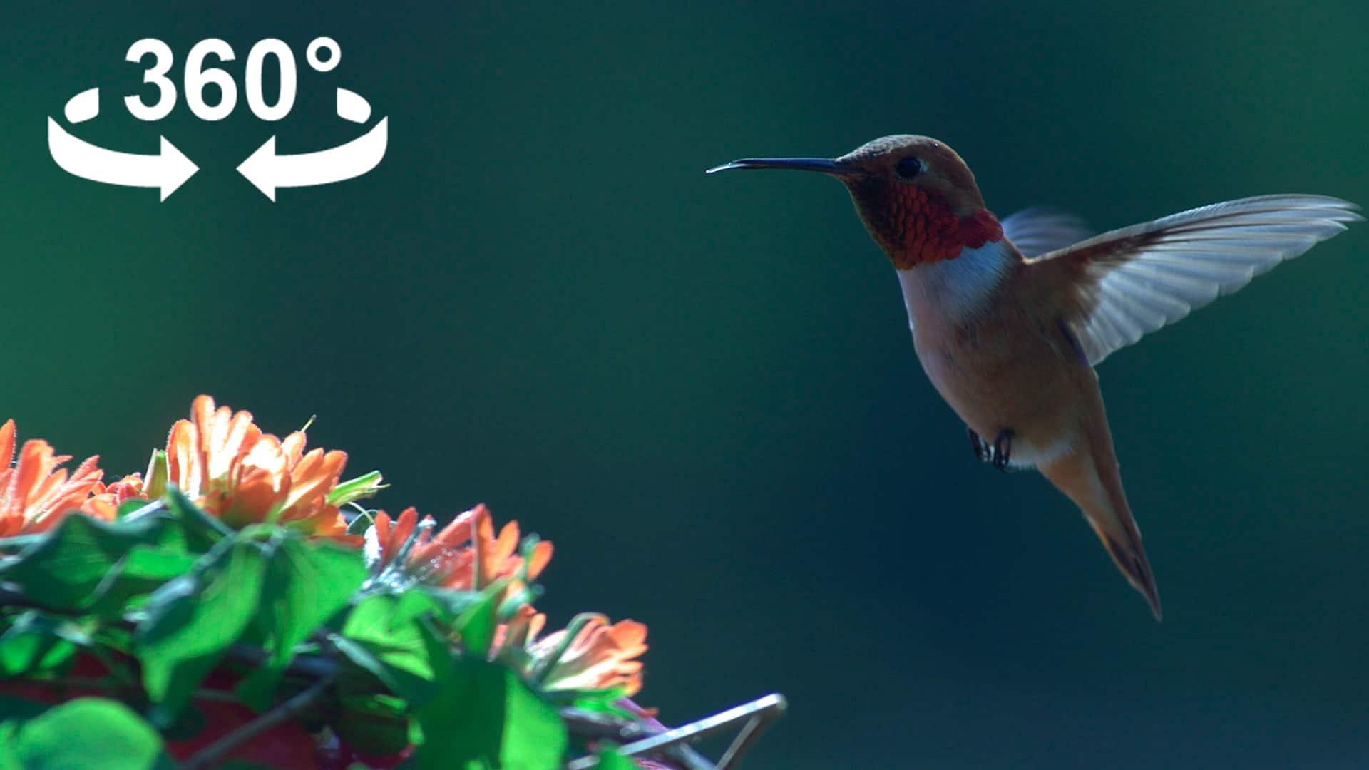 hummingbird_cover360