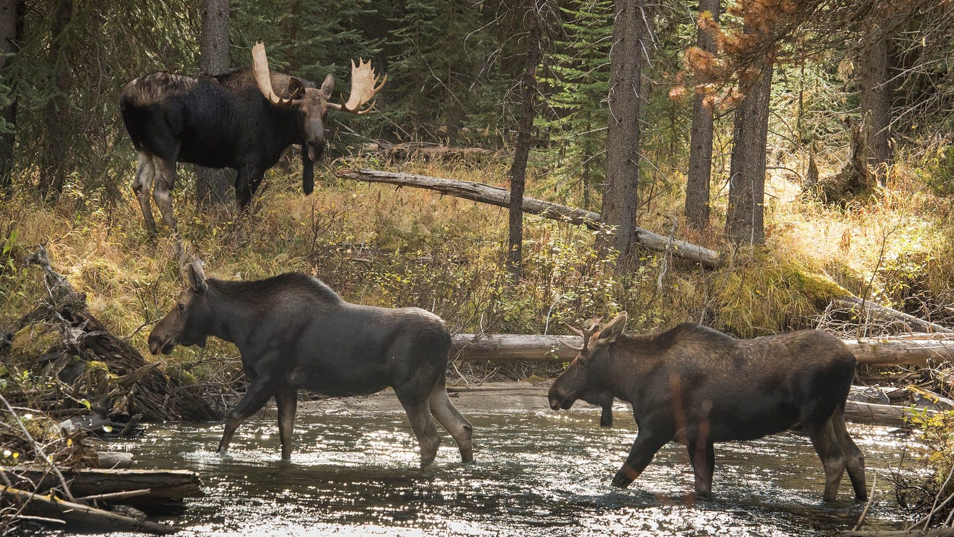moose_1920