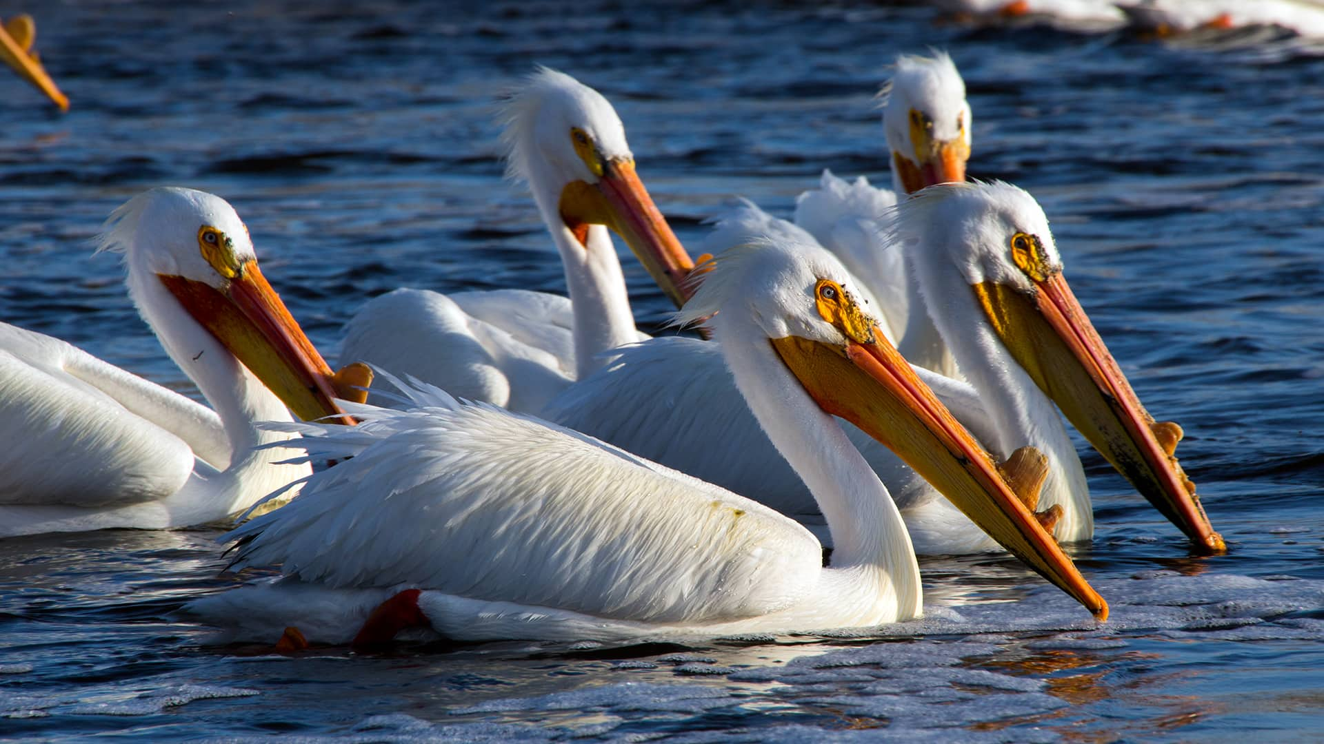 american white pelicans travel to saskatchewan looking for love