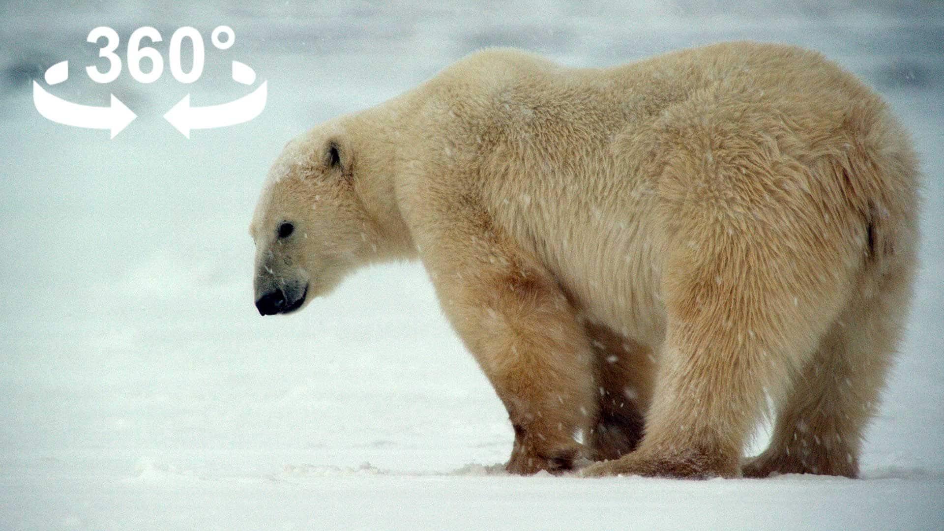polarbear_cover_360