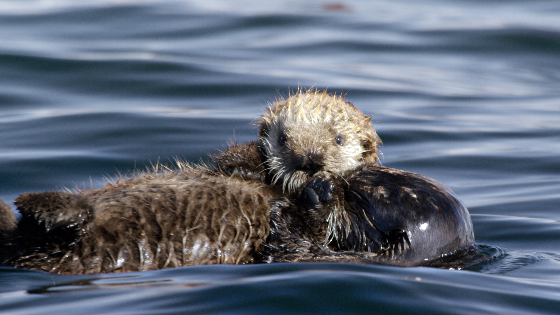 seaotter
