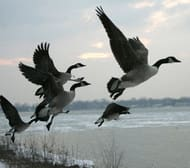 canada-geese-cp-2642465.jpg