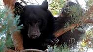 hi-black-bear-cp9399736-8col.jpg